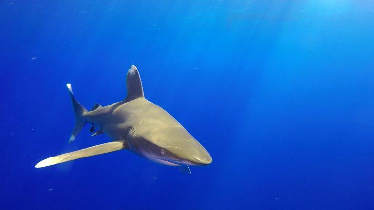 Croisière BDE – Requins longimanus et marteaux